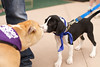 OutPaws May Adoption Event 52