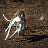 Greyhound in action