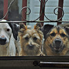 Our dogs: Lili, Aldo and Charlotte wanting to come in.