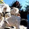 "Luna and Popeye, the goats, wait in line to be blessed on Sunday. Aileen Ehn, top, and her daughter, Nora, keep them occupied.<br /> The Shepherd of the Hills Lutheran Church in Boulder, held a Blessing of the Animals service on October 7, 2012.<br /> For more photos and a video of the blessing, go to  <a href=""http://www.dailycamera.com"">http://www.dailycamera.com</a>.<br /> Cliff Grassmick  / October 7, 2012"