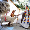"Rev Martin Lettow, blesses the goats, Popeye and Luna, with the help of Fisk ""Scooby"" Ehn, 6, on Sunday.<br /> The Shepherd of the Hills Lutheran Church in Boulder, held a Blessing of the Animals service on October 7, 2012.<br /> For more photos and a video of the blessing, go to  <a href=""http://www.dailycamera.com"">http://www.dailycamera.com</a>.<br /> Cliff Grassmick  / October 7, 2012"