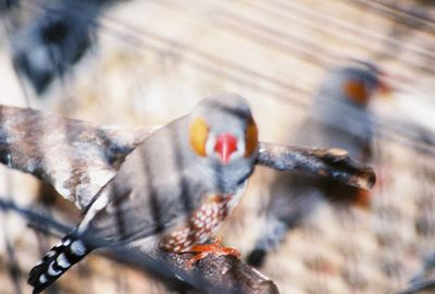 November 2003. Zebra Finch (male)