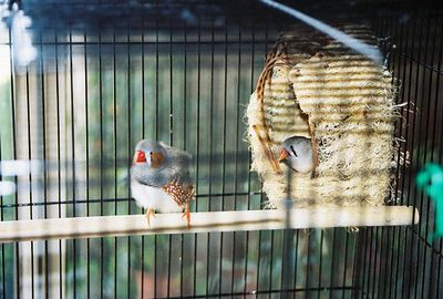 5/8/04 Zebra Finches