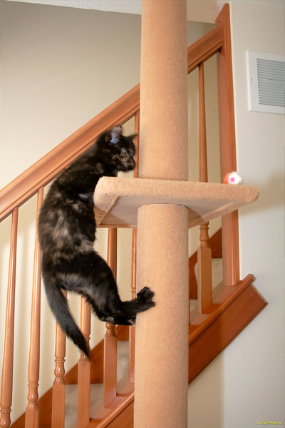 Sissy climbing our cat shelf tree to get to a toy mouse.