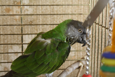 """Z"" Bird still plucking, 4-2009 she looks like this.  Very nice top and back view.  Senegal parrot, hatched 10-1996."
