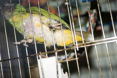"""Senegal parrot - """"Z"""".  She is a plucker, and has been since Spring 2002.  Everything I can do for her has been done, vet visits, change in foods, more toys, but no change."""