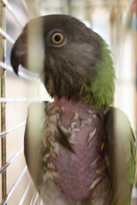 """Z"" Bird still plucking, 4-2009 she looks like this, but after a bath, so the little down she has is all wet and dark.  But she's happy and very healthy.  Senegal parrot, hatched 10-1996."