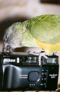 "Senegal parrot - ""Z"".   This is before she began plucking her own feathers.  On my camera you can tell the size of this type of parrot."