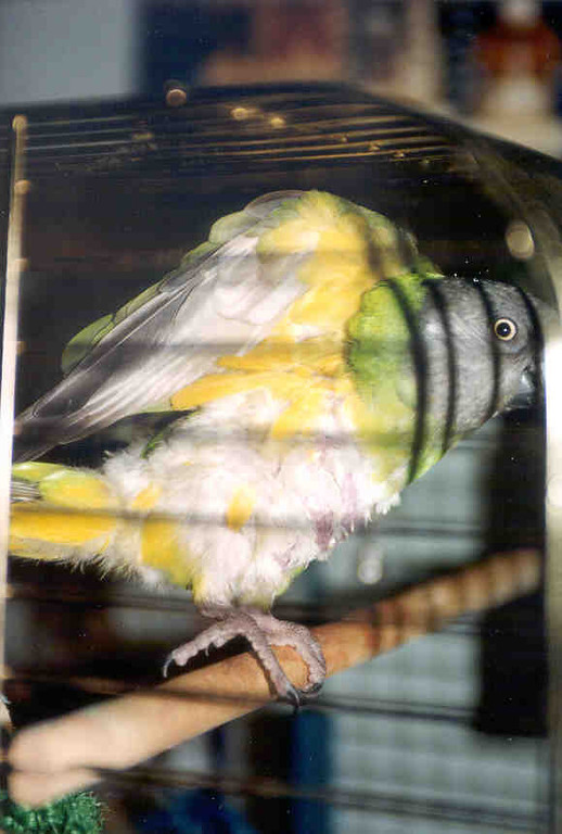 "Senegal parrot - ""Z"".  She is a plucker, and has been since Spring 2002.  Everything I can do for her has been done, vet visits, change in foods, more toys, but no change."