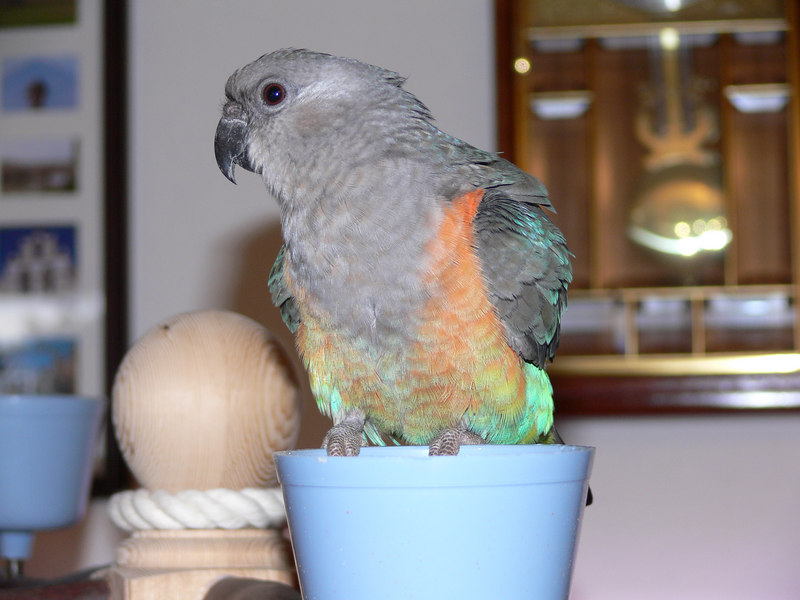 Sid the Red Belly Parrot