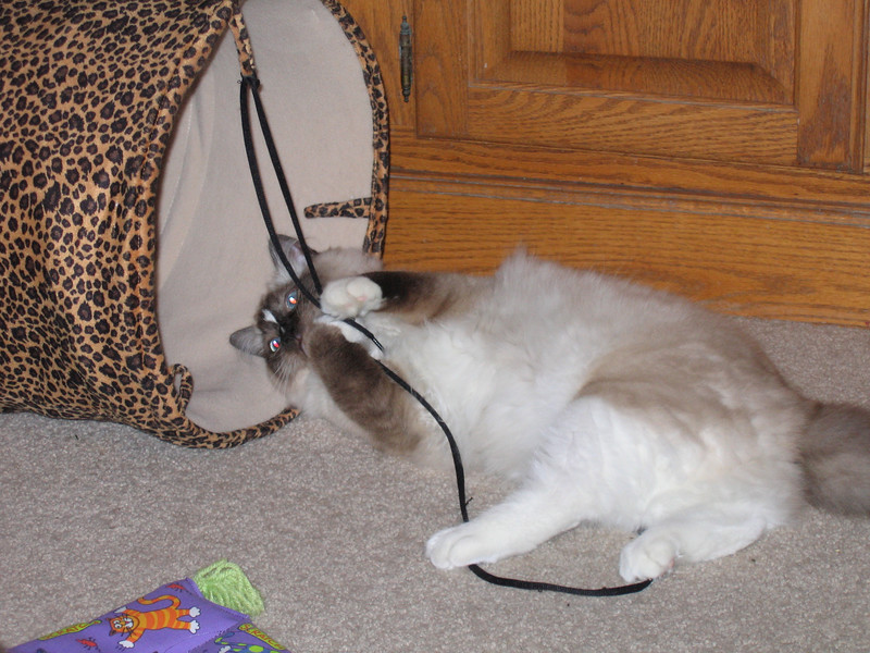 Penny playing with one of her favorite toys, a shoelace