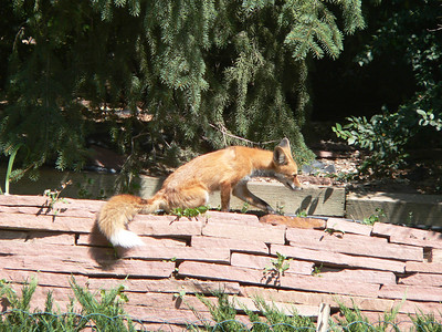 Fox in the sun August 2005
