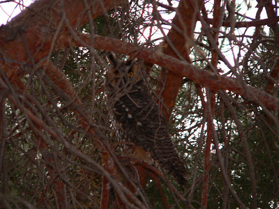 Owl in front tree 2, January 2005