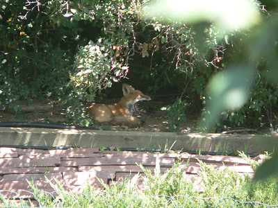 Fox in the shade 2 August 2005