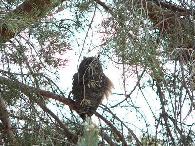 Owl in front tree, January 2005