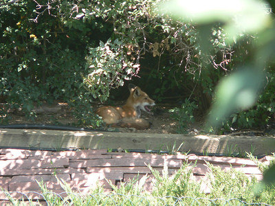 Fox in the shade August 2005