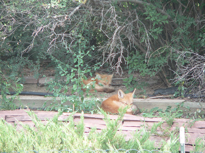 Fox pair on top tier August 2006