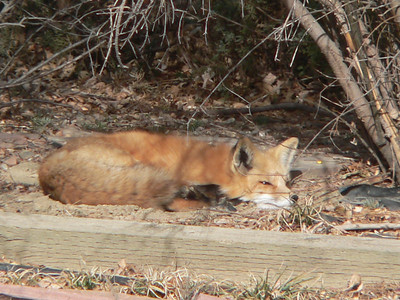 Lazy fox, January 2006