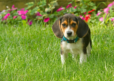 Pepper the Beagle