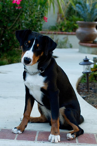 20121011-IMG_0271 Appenzeller Swiss Mountain Dog pup at 5 months old