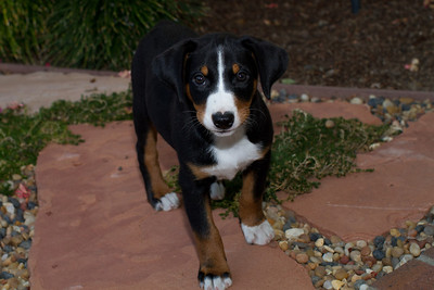 Appenzeller puppy after her first bath at new home, and a messy 6 hour flight across the country