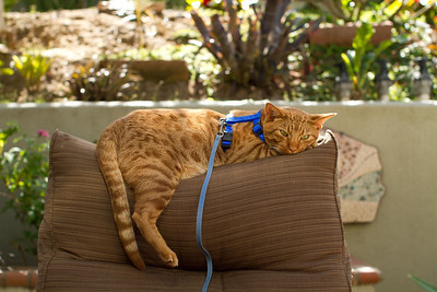 20120528-IMG_7969 The big boy lounging on the patio furniture in his harness and a leash. The click of my shutter got his attention for a moment.