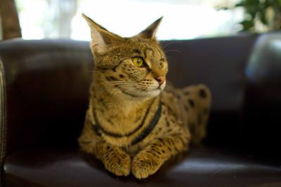 20120129-IMG_1462 Female Savannah cat on her throne.