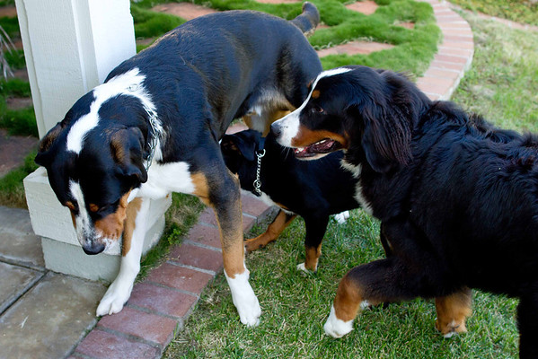 Swiss Mountain Dogs playing on  Halloween 10-31-2012