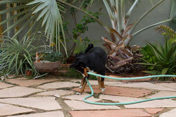 Dog playing with hose 9-01-2013