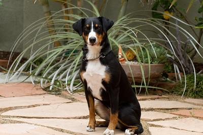 Appenzeller Swiss Mountain dog breed