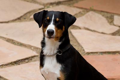 Swiss Mountain Dog from Appenzell Canton, Appenzeller Sennenhund