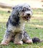 Poodle-mix? He was found June 22, 2009 on Georgia Highway 314 at Convenent Presbytarian Church, Fayetteville, Georgia. VERY friendly and well sociaized. Groomed recently. SOMEONE is looking for this guy!