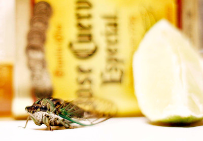 The Drunken Cicada