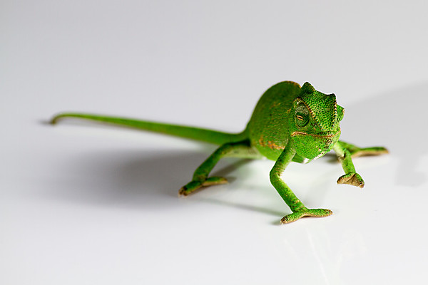 Chameleon on white surface - 2