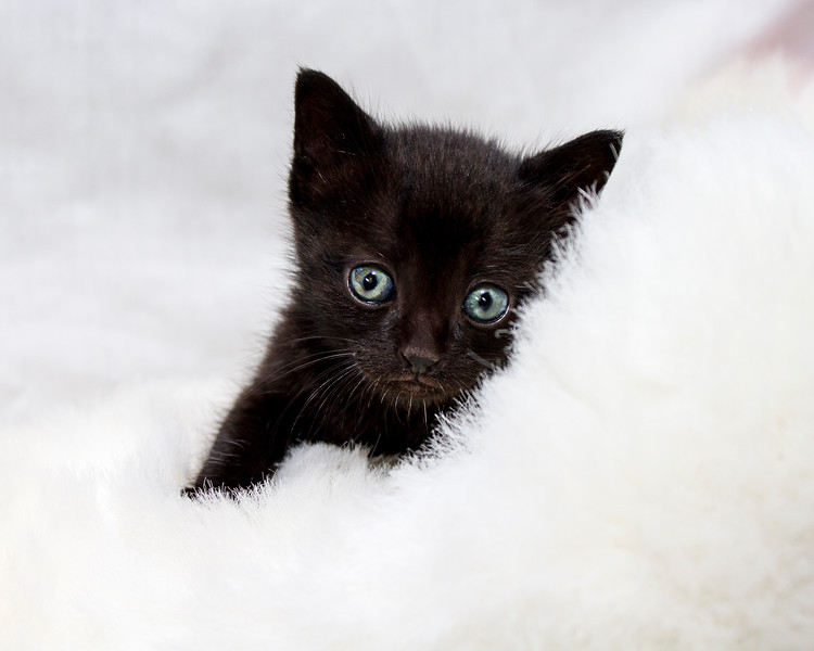 Black kitten on white fur - 2