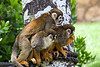 3 Squirrel monkeys looking over shoulders