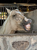 Laughing horse - 2