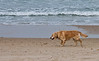 Morning Run - Golden Retriever on the Beach