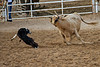 Dog being chased by cow