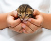 1 week old tortoise shell kitten in cupped hands