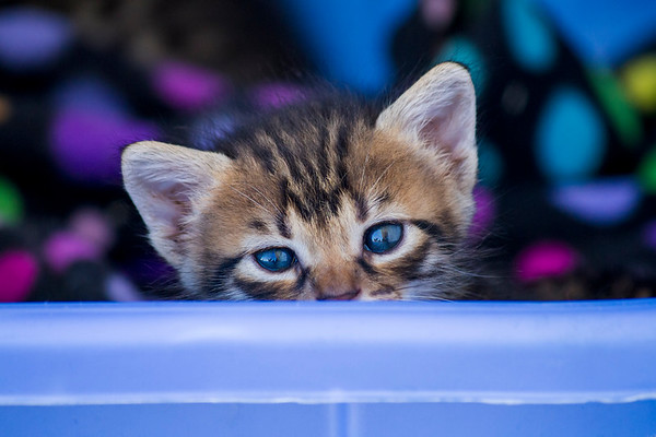 Kitten looking over blue basket blue eyes - 3