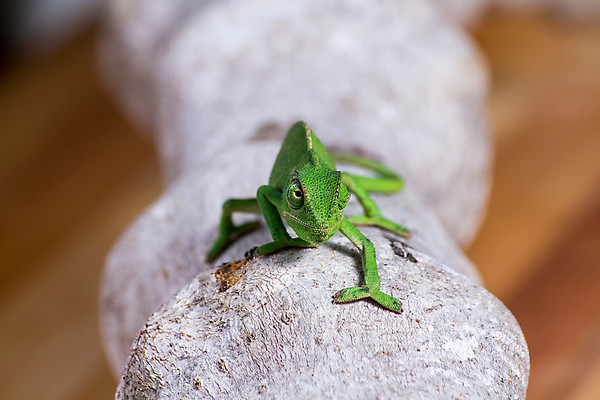 Chameleon on log - head-on