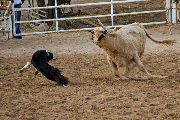 Cow chasing dog