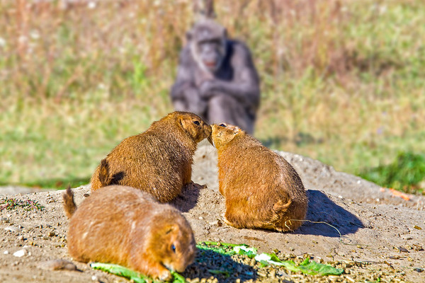 Prairie dogs in love with chimp voyeur