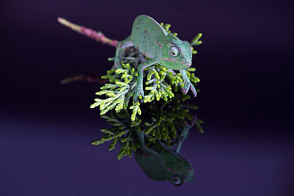 Chameleon on leaf on glossy black surface