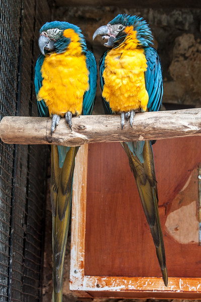 Blue throated macaws -Talk to the beak, cos the heads not listening