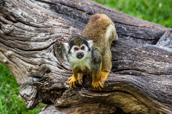 Squirrel Monkey looking at the Camera