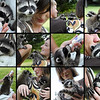 Two orphaned baby raccoons rescued and bottle fed<br /> by a young couple.