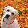 """Sophie and Fall Foliage"".  One of my favorite portraits of Sophie. 12/26/09"