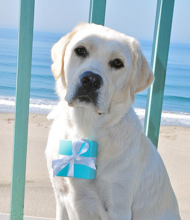 """Sophie proudly wearing a special """"Tiffany Box"""" around her neck that contained a special 60th B-Day gift for mom.  Aptos Beach, CA 8/8/09."""